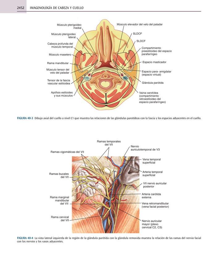 Hermosa Anatomía De Los Espacios Del Cuello Fotos - Imágenes de ...
